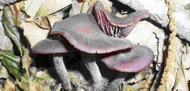 Divulgação de Cogumelos Silvestres – 38